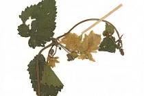 Chmel otáčivý (Humulus lupulus).