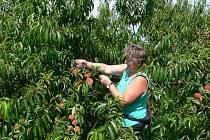 Marta Košťálová kontroluje v úlibickém sadu broskve. Některé plody poškodily kroupy. Bude neprodejná i tato komodita?