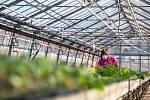 V zahradnické škole v Kopidlně pracují ve sklenících všichni zaměstnanci včetně sekretářek. Vegetační odbobí totiž koronavirus nezná.