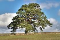 Přes 300 let stará památná borovice nad Libání v místě zvaném Na Horách.