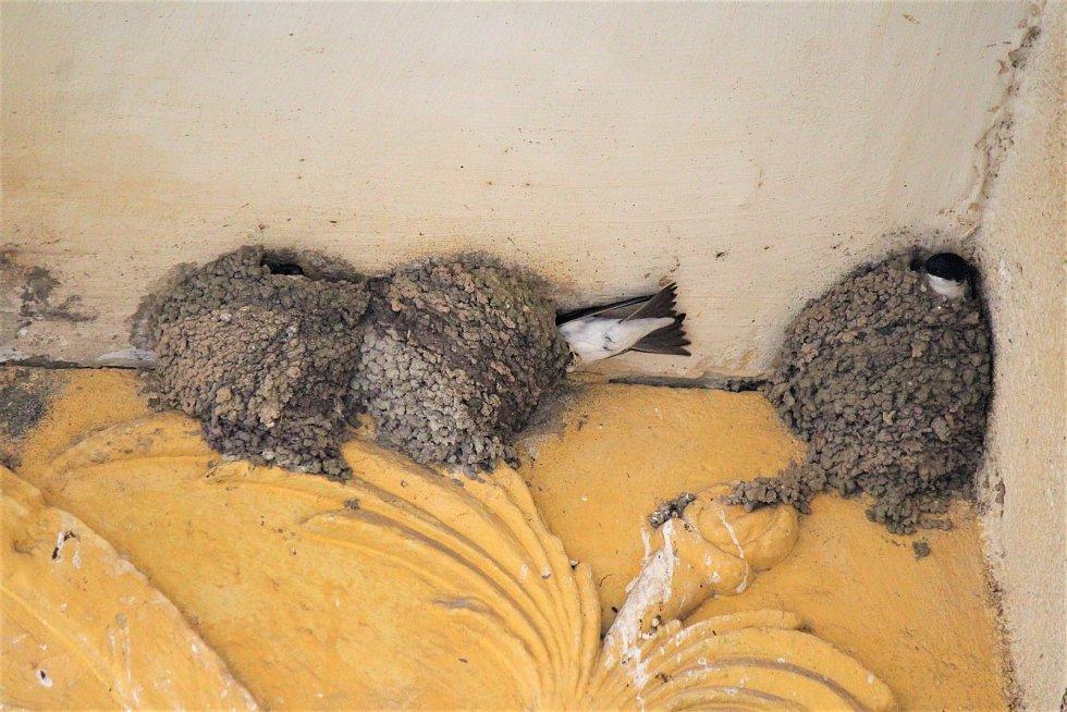 Jiřička obecná se stala Ptákem roku 2020. Ornitologové tím chtěli upozornit na to, že jiřičky vlivem lidské činnosti přicházejí o přirozená hnízdící místa a místo pro život.