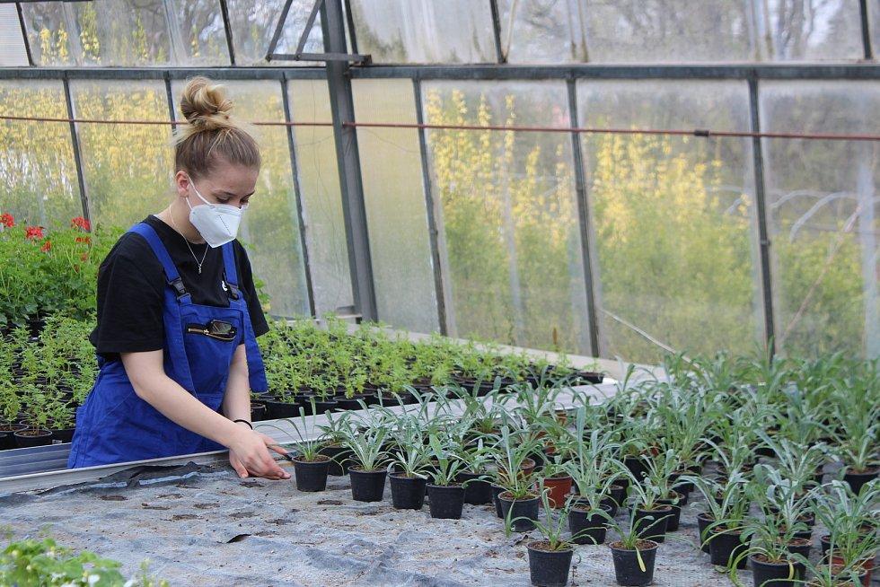 Ve sklenících zatím studenti připravují květiny a sazenice v květináčích. Kupovat si je jezdí lidé z celého okolí.