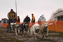 Ze závodů psích spřežení pod Zebínem