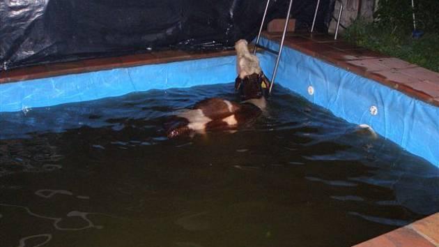 V Horním Lánově spadla kráva do bazénu.