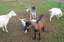 Sluníčko povytáhlo trávu, a tak si jarní pastvy mlsné kozy užívají. Ve svém  hodování se nechaly vyrušit a rády zapózovaly před fotoaparátem. Tady je život zase normální.