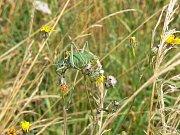 V lokalitě u Kovače žije vzácná kobylka zavalitá.