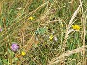 V lokalitě u Kovače žije vzácná kobylka zavalitá
