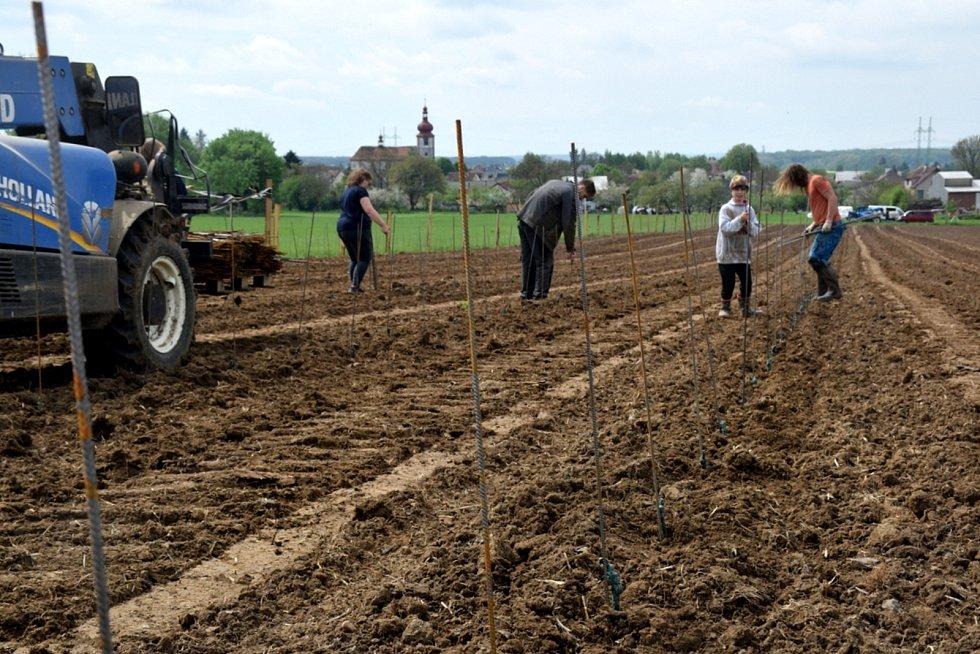 Vysadili osm tisíc rostlin na třech hektarech. Stali se tak největším vinohradem v kraji.