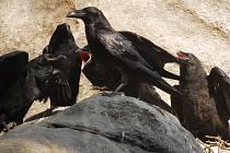 Krkavec velký krmí na hnízdě velká mláďata.