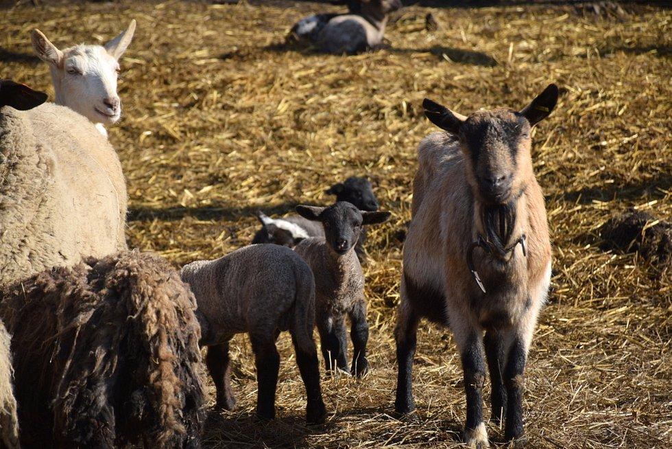 Původním povoláním učitel tělocviku Petr Mráz z Prachova se nebojí zajímavých výzev. Doslova po hlavě se pustil do farmaření. Začínal s chovem ovcí, přidal krávy a nyní chce založit u Českého ráje vinici.