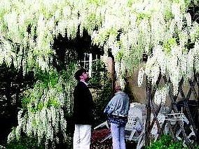 Bohatě kvetoucí vistárie v Jičíně na Čeřovce.