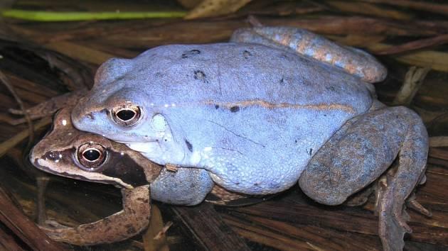 Skokan ostronosý při páření, samečci mají v tomto období modrou barvu.