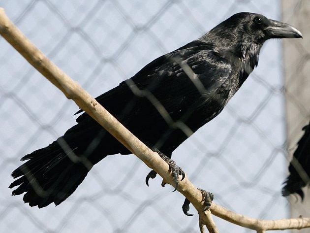 Krkavec patří mezi chráněné ptáky.