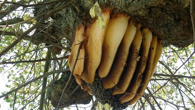 Včelí plástve na stromě v lipové aleji.