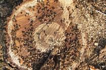 Včely na čerstvém pařezu ořešáku.