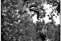 Dub Tejchmanův je dobře vidět při okraji lesa ze silnice od hřbitova obce Mlýnec směrem na Rožďalovice.