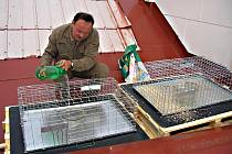 Klece na odchyt holubů je nutné pravidelně obsluhovat.