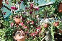 Fuchsie na zahradě Suchardových v Újezdci.
