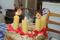 Kočka Pepina u adventního věnce.