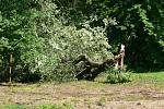Větrem zlomený strom u Libosadu.
