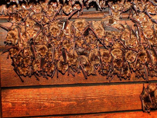 Na jedné z půd ve Vysokém Veselí byla objevena kolonie netopýrů čítající téměř 500 jedinců.