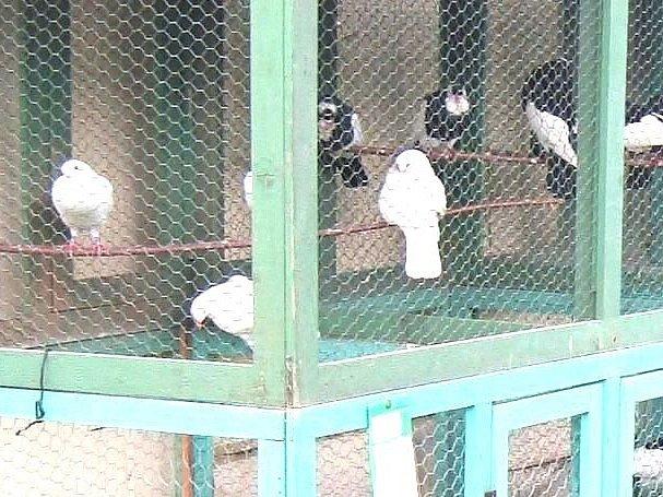 Novopackou Májovou výstavu letos nekomplikovala veterinární opatření, byli vystaveni rovněž opeřenci.