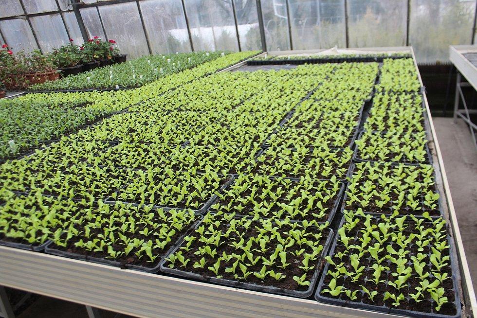 Jarní práce ve sklenících musí zatím zaměstnanci Střední zahradnické školy v Kopidlně zvládnout svými silami, žáci do školy zatím nesmí. . Po výsevu semen zeleniny a květin nyní přichází na řadu ta nejpiplavější činnost, které se odborně říká pikýrování.