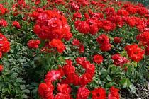Rudé lidické růže.
