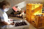 Velikonoční kraslice i perníčky z dílen novopackých cukrářů budou letos na svátečních stolech chybět, ale na výrobu kuřátek z bílkového krému mistrové zmobilizovaly všechny síly.