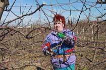 Na zhruba sto padesáti ovocných stromech provede každý den pomocí elektrických nůžek zimní řez Alena Rajmová z Lužanské zemědělské akciové společnosti.