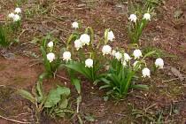 Bledule jarní patří do čeledě amarylkovitých. Jedná se o rostlinu cibulovitou.