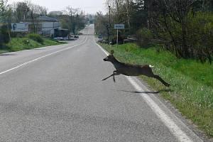 Střety se zvěří patří k nejčastějším příčinám dopravních nehod