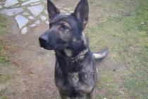 Policejní pes.
