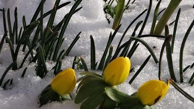 Talovíny deroucí se ze sněhu.