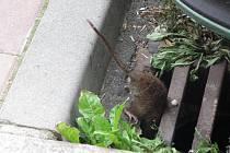 Jičínský potkan, kterého jsme potkali v jedné z ulic u centru města.