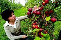 Starostka Holovous Martina Berdychová v sadu holovouského Výzkumného a šlechtitelského ústavu ovocnářského, kde mohou turisté zhlédnout veškeré odrůdy.