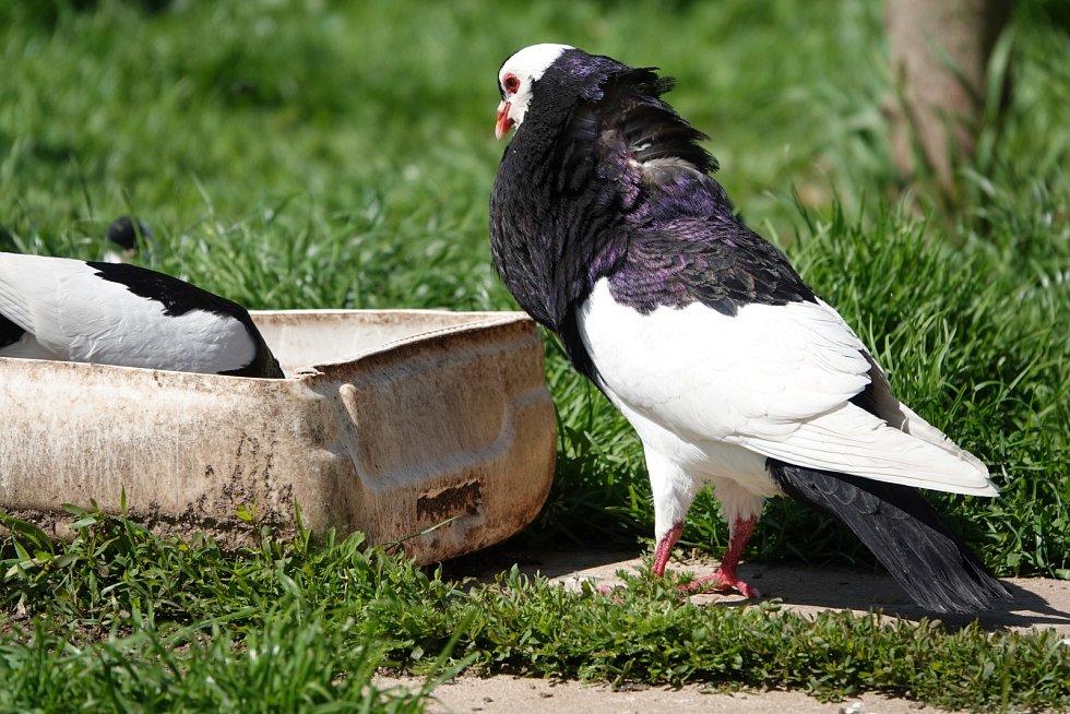 Pan Nýdrle chová plemeno domácích holubů český stavák černý sedlatý, typický velkým voletem a zvláštním způsobem letu.