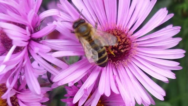 Podzimní včely.