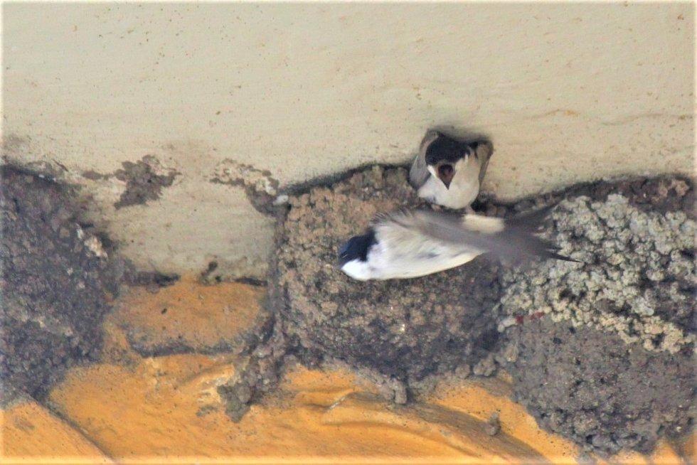 Jiřičky jsou společenští tvorové, rády se mezi sebou haštěří.
