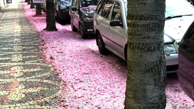 Kvetoucí sakury jsou krásné, ale i po opadání mají květy svoje kouzlo.