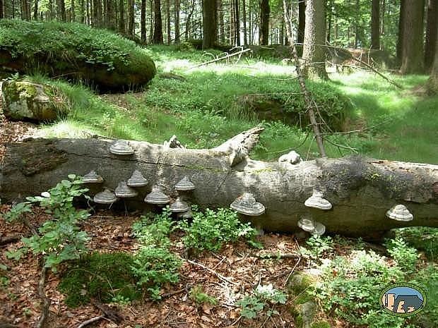 Tzv. mrtvé dřevo a torza stromů jsou pro bezobratlé živočichy jedním ze základních předpokladů existence.