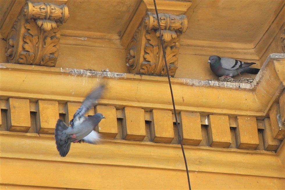 S jarem začínají hnízdit i další ptáci ve městě. Na fotce holubí pár pod střechou školy na Husovce.
