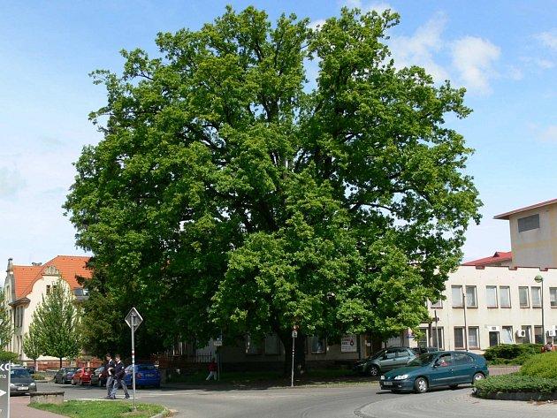 Kukulův dub v Jičíně.