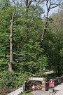 Kácení stromů v bělohradském zámeckém parku, kde bylo 32 jehličnanů a listnáčů napadeno kůrovcem. Park je uzavřen.