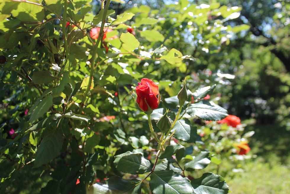 Vůněmi a rozmanitými barvami hýří zahrada v Újezdci u Syřenova na Jičínsku, kde pěstují květiny všech druhů, keře a stromy manželé Suchardovi.