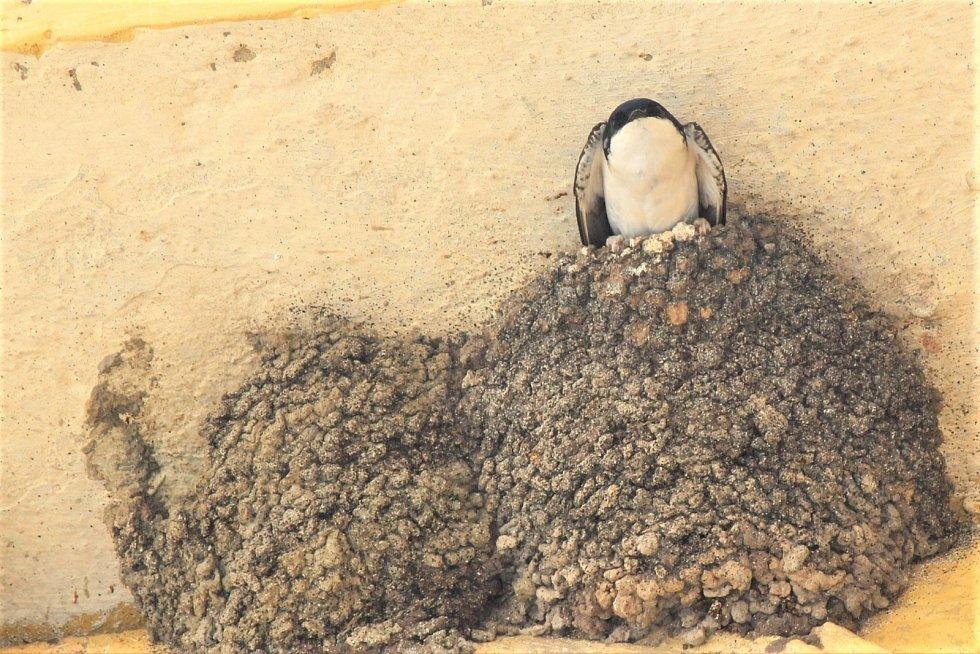 Fasády starých budov mají jiřičky v oblibě. Kolonie nejčastěji hnízdí v podloubích, pod střechami, ve stodolách nebo na půdách.