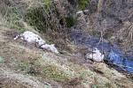 Zbytky uhynulých ovcí.