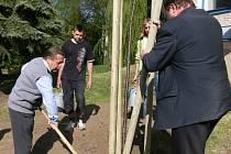Starosta Sobotky Stanislav Tlášek při sázení stromu.