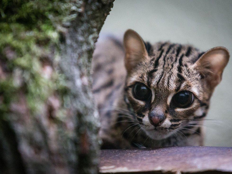 V jihlavské zoo se zabydluje velice vzácná kočka Palawanská.