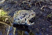 Spolek Mokřady pomohl jen u Dušejova do bezpečí více než tisícovce žab.